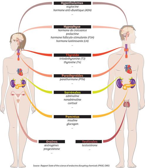 perturbateurs-endocriniens-glandes-princ