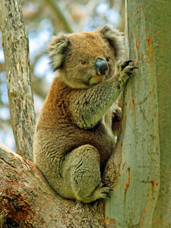 Aussie_2624-30x40cm_modifié-3