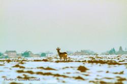 Gilles Nicoud-chevreuil sur la neige-fév2012
