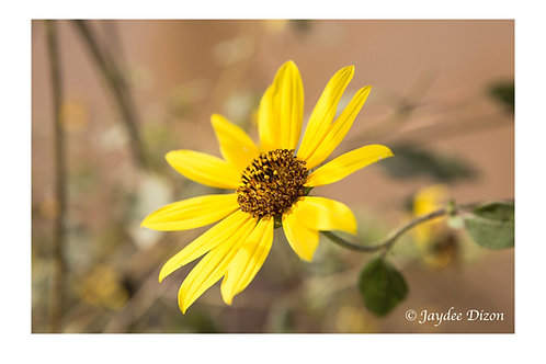 Sunflower - Madrona Marsh - Photo Notecard