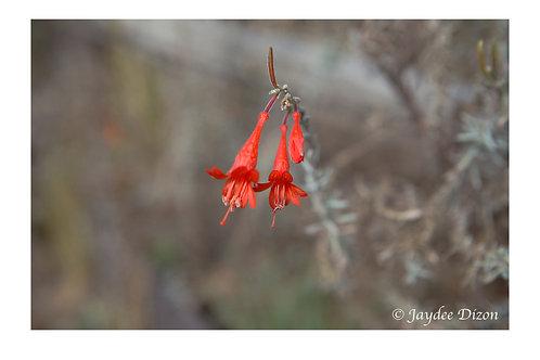 Californian Fuchia-Flowered Gooseberry - Photo Notecard