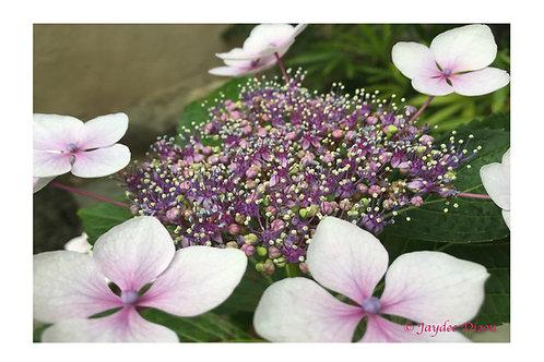 Bluebird Lacecap Hydrangea - Photo Notecard