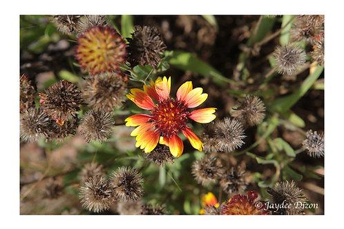 Rudbeckia Hirta Cappuccino - Photo Notecard