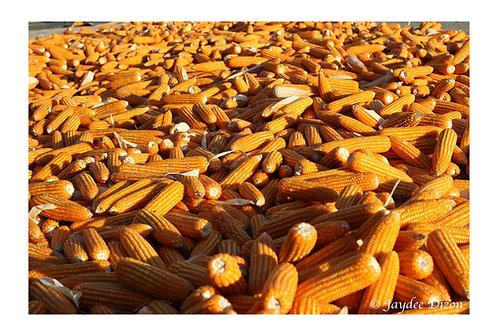 Maize, La Union PI - Photo Notecard