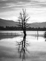 Black and white urban and landscape photography. A leafless tree is reflected in the still waters of Loch Garten, Scotland