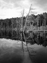 Black and white urban and landscape photography. The stark figure of a leafless tree is outlined against pines and reflected in the still waters of Loch Morlich, Scotland