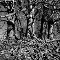 Black and white urban and landscape photography. A complex network of tree roots are cast into sharp detail by the low sun in Avebury, UK