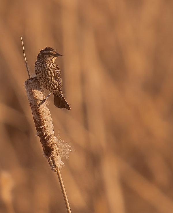 animal-birdwatching-blackbird-1056103.jp