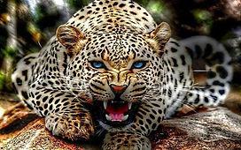 Jaguar bello II.jpg