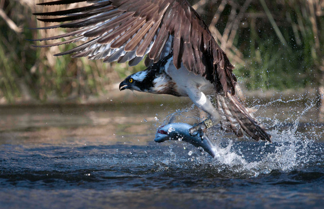 One of our resident ospreys hunting