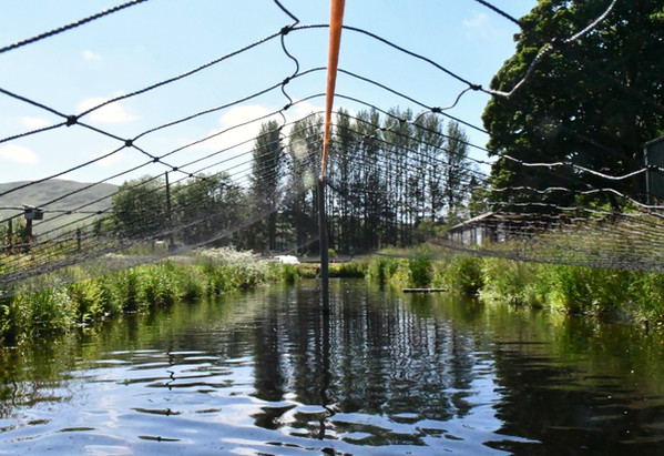 We keep the smaller fish under netting to keep out potential predators such as our resident ospreys