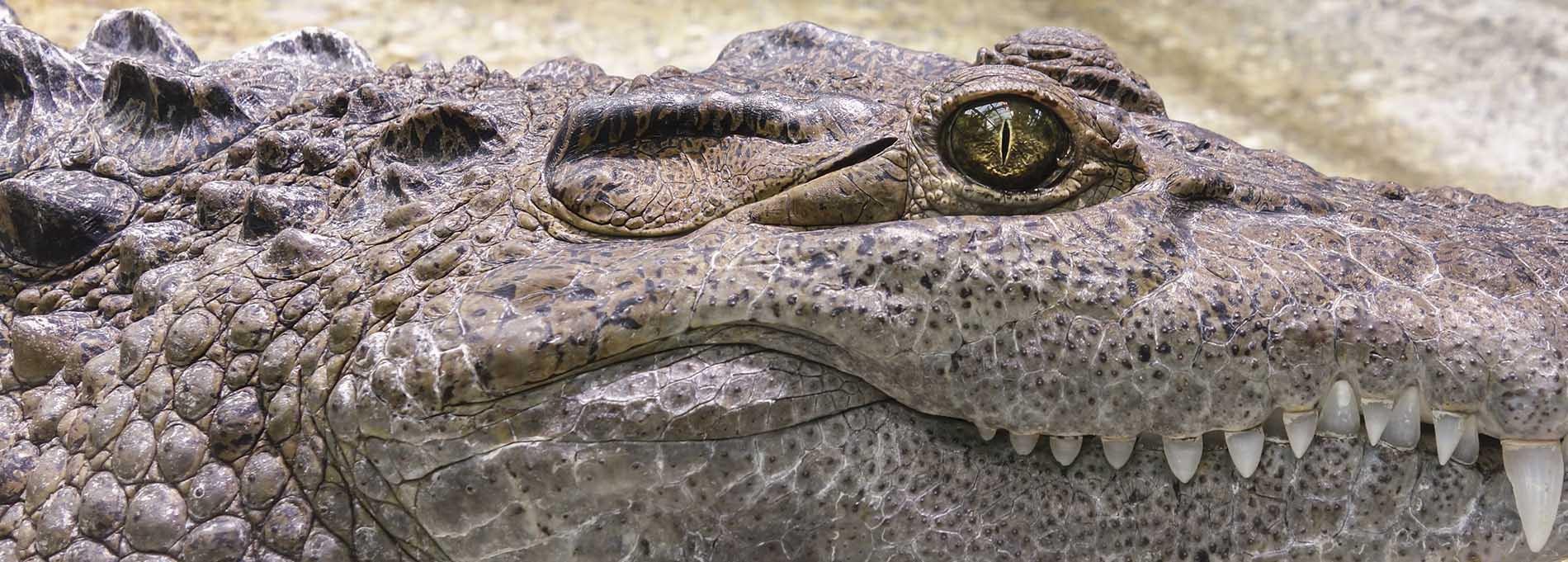 crocodile1900.jpg