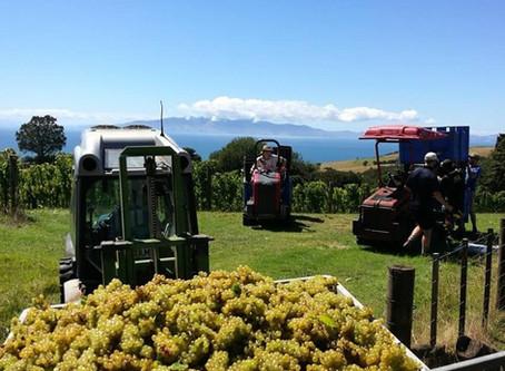 Man O War Vineyards- Pick of the crop