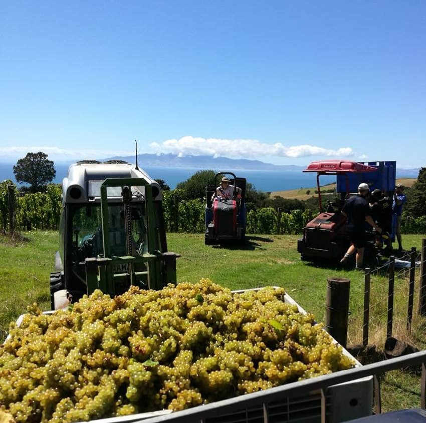 Man O War grape harvesting 2019
