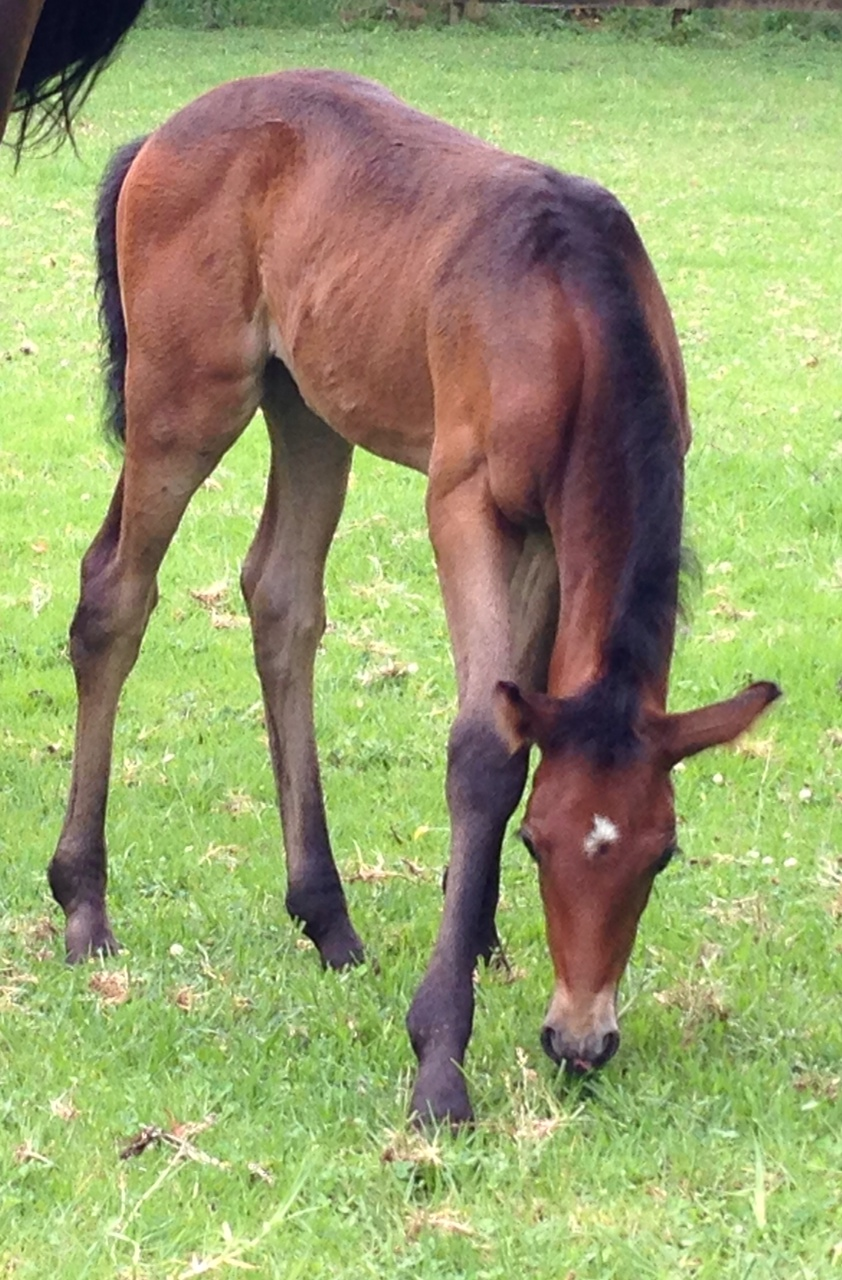 warmblood cross filly foal
