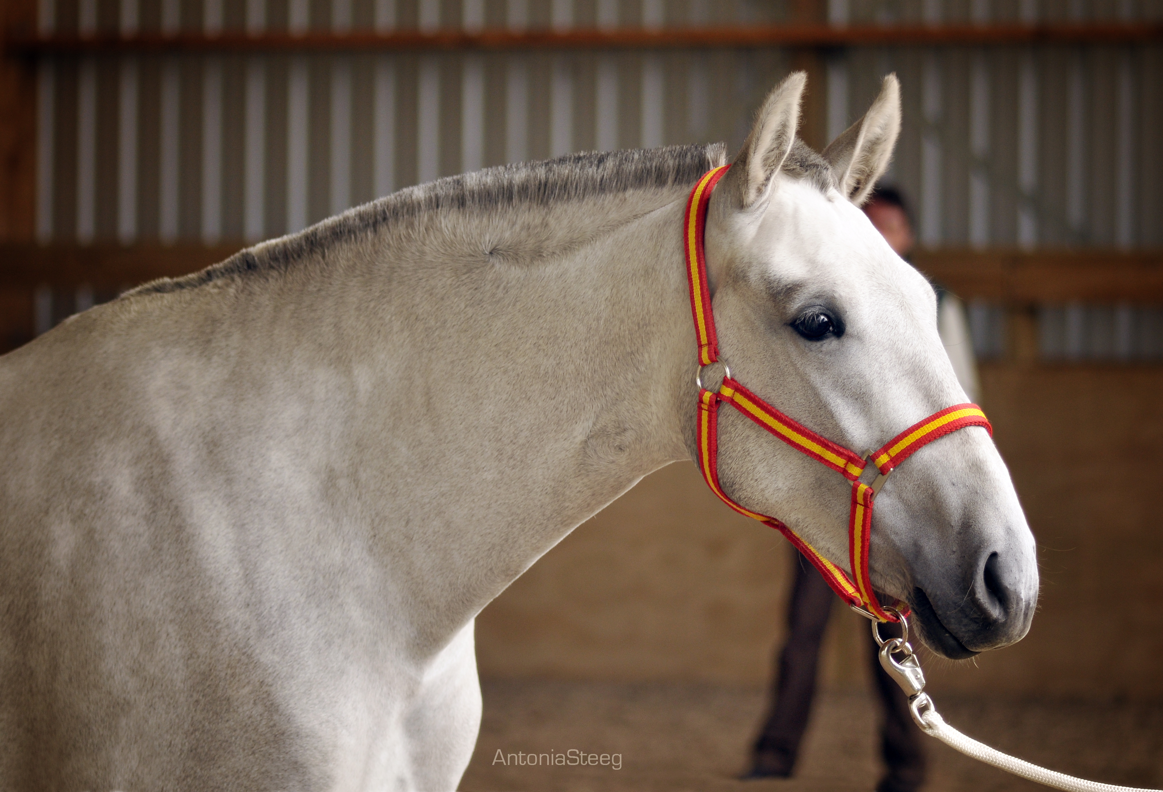 Hanna Mistica, 2 year old filly