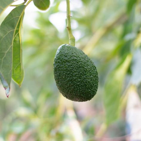 Crop hail insurance, California Oregon Washington Arizona Texas, grape insurance, hemp almond citrus pistachio, avocado insurance California