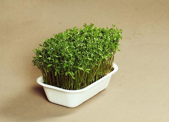 Linsespirer - Mikrogrønt