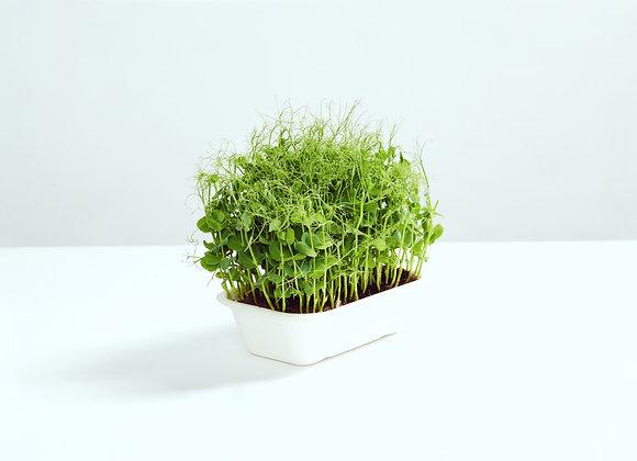 Ærteskud - Mikrogrønt