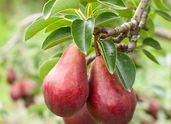 Pære rød, Økologisk 1 kg - Argentina