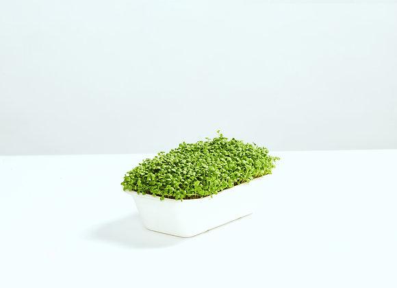 Rødkløver - Mikrogrønt