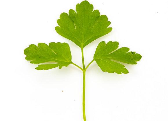 Bredbladet persille i pose (afklip) - Økologiske krydderurter