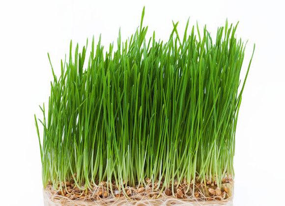 Hvedegræs - Mikrogrønt