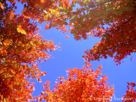 Fall Color & Tree Sale