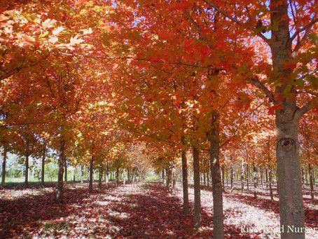Some of the Best Fall Color Trees!