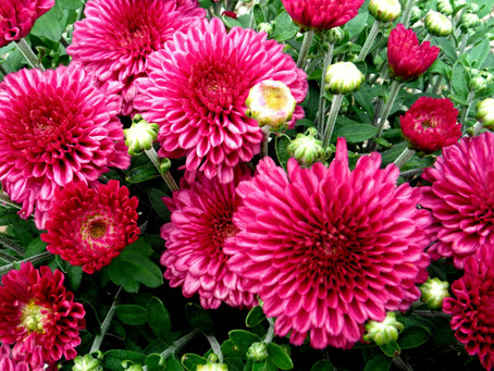 All about Chrysanthemums