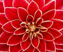 dahlia-dahlias-autumn-asteraceae-65940.j