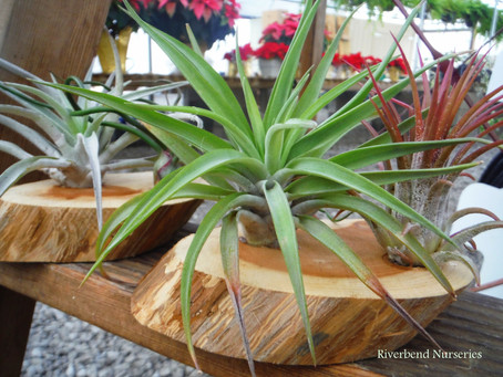 Air Plants are the Newest Trend