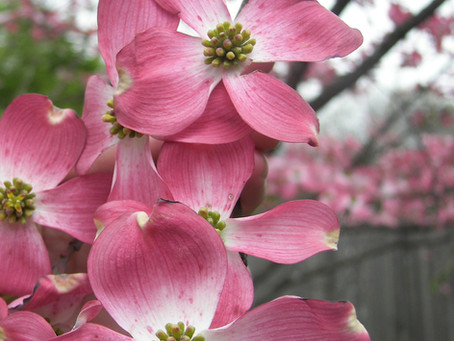 The Easter Legend of the Dogwood Tree