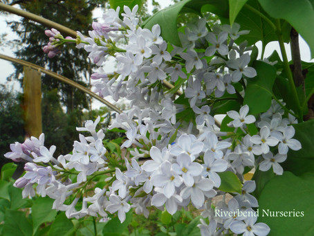 Southern Varieties of Lilac