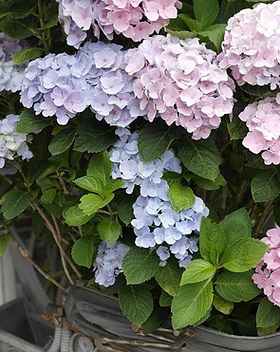 Fresh-Cut Hydrangea Tips.jpg