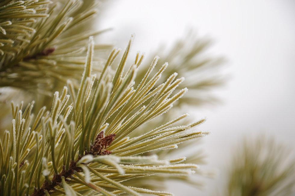 pine-1580665_1920.jpg