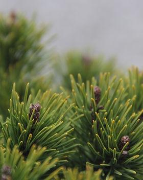 Pinus mugo (3).JPG