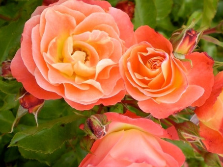 Tips to Growing a Rose Garden
