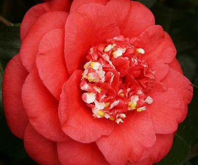 Growing Camellias in Our Region