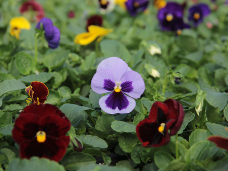 Pansies and Violas are Here!