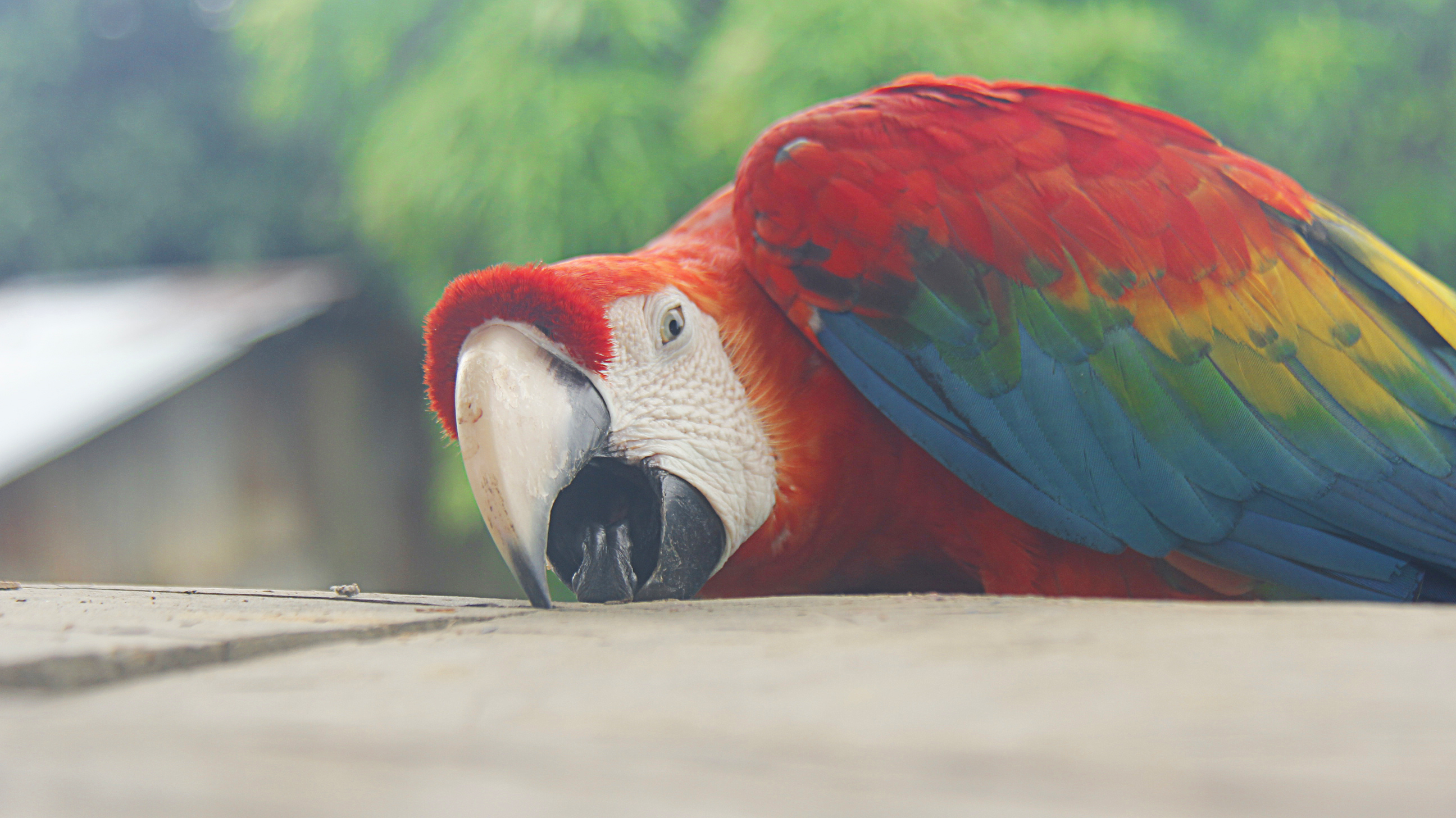 Guacamaya in the Amazon jungle