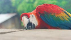 Guacamaya in the Amazon jungle