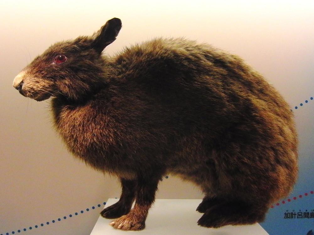 【奄美大島】奄美群島に生息する希少野生動物を知ろう!絶滅危惧種を守るために私たちができること【アマミノクロウサギ】
