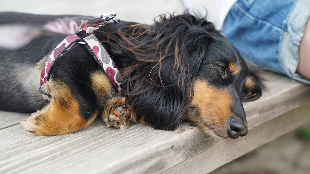奄美大島・加計呂麻島 武名集落の看板犬