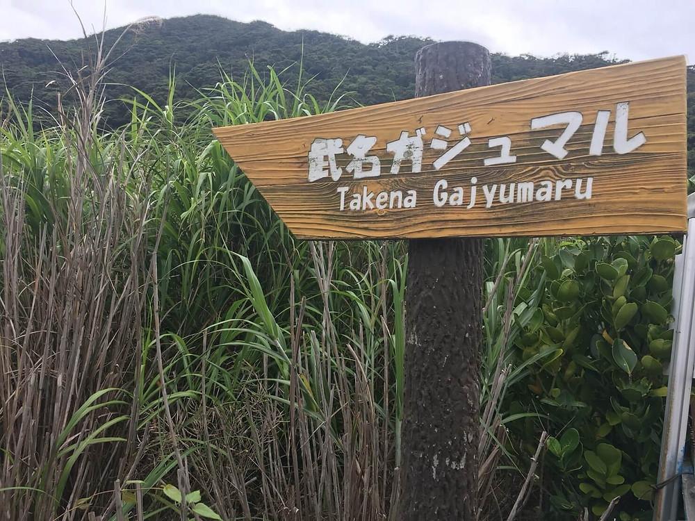 奄美大島・加計呂麻島 武名集落 武名のガジュマル