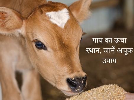 वास्तु (vastu) और ज्योतिष (astrology) में भी है गाय का ऊंचा स्थान, जानें अचूक उपाय (remedies)