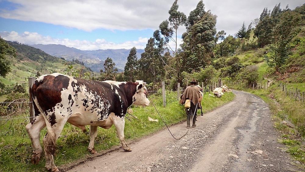 Local farmer with his bull.