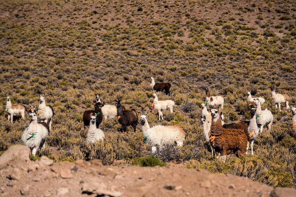 Llamas on the Lagunas Route near Villa del Mar, Bolivia - AvVida.co.uk
