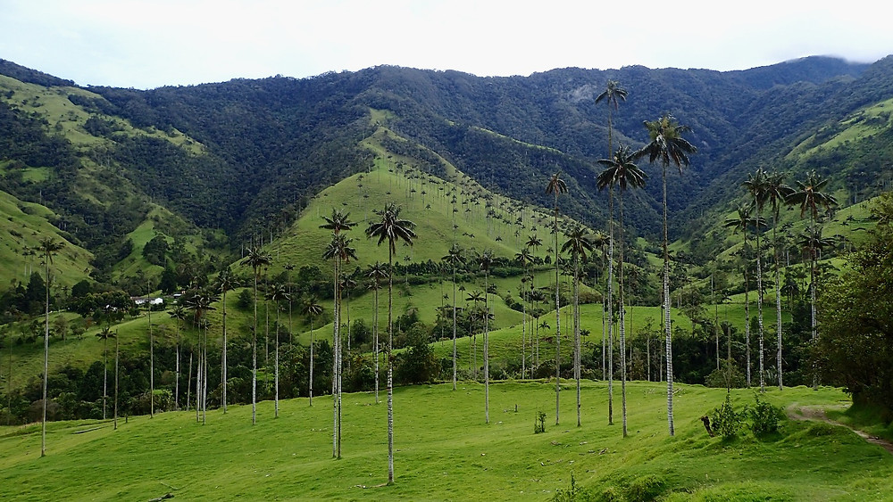 Wax Palms of Cocora Valley