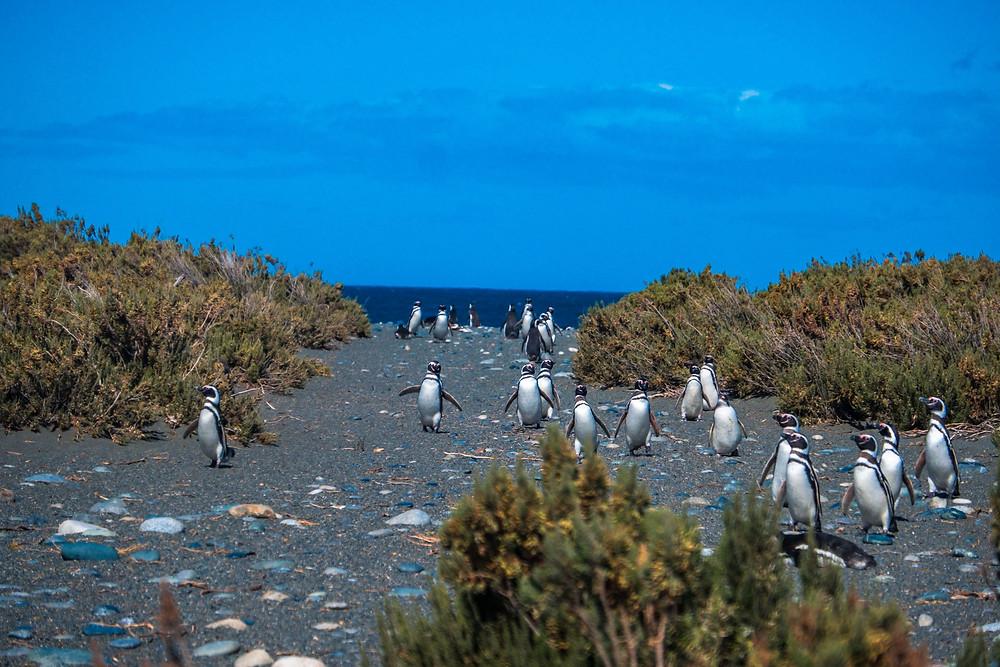 Magellanic penguins at Reserva Provincial Cabo Virgenes Pinguinera - AvVida.co.uk